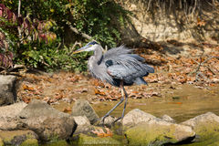 Большая голубая цапля wading осенью Стоковые Фотографии RF