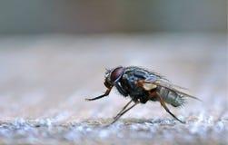 Большая голубая черная муха с красными глазами стоковое фото