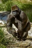 Большая горилла идя на его костяшки стоковые изображения rf