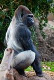 большая горилла стоковая фотография rf