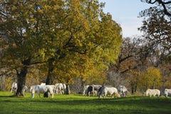 Большая группа в составе белые лошади в осени fields Стоковая Фотография RF