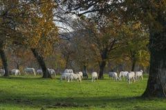 Большая группа в составе день осени белых лошадей солнечный Стоковое Изображение