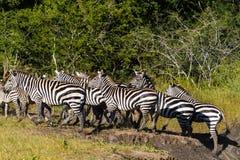 Большая группа в составе зебры в африканской саванне Танзания Стоковые Фотографии RF