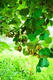 Большая группа плодоовощ кивиа Стоковое Изображение RF