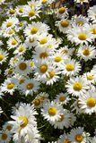 Большая группа свежих белых маргариток oxeye Стоковые Фото