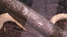 Большая длинная опасная змейка в terrarium лежа все еще, панорамный вид сток-видео