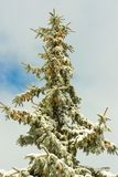 Большая ель Стоковая Фотография RF