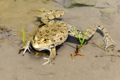 Большая жаба в пруде Стоковое Фото