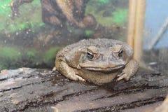 Большая жаба сидит Стоковая Фотография RF