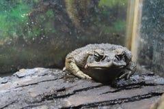 Большая жаба сидит Стоковые Фото