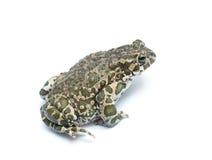 большая жаба Стоковая Фотография