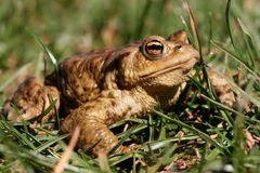 большая жаба Стоковое Фото