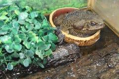 большая жаба Стоковые Изображения RF