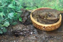 большая жаба Стоковая Фотография RF