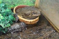 большая жаба Стоковое Изображение RF