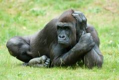 большая женская горилла стоковое изображение rf