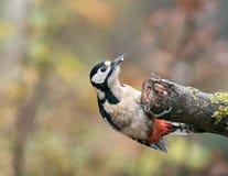 Большая запятнанная женщина Woodpecker на ветви дерева стоковая фотография