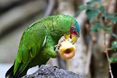 Большая зеленая ара также известная как ара Buffon стоковые фотографии rf