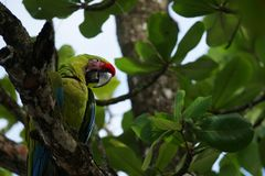 Большая зеленая ара ` s Buffon ары сидя на ветви тропического дерева Стоковые Фотографии RF