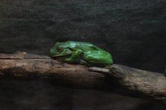Большая зеленая жаба на журнале Живите как памятник Стоковые Изображения RF