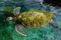Большая зеленая морская черепаха, Израиль Стоковые Изображения RF
