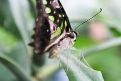 Большая зеленая оранжевая черная стойка бабочки на лист, фото макроса Стоковое Фото
