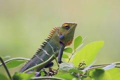 Большая зеленая ящерица iguan в профиле среди зеленого растения выходит на салатовую предпосылку Стоковые Фотографии RF