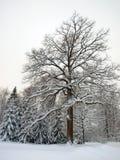 большая зима дуба Стоковая Фотография