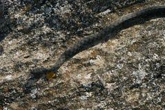 Большая змейка сумматора европейца не ядовитая Стоковое фото RF