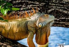 Большая игуана папы Стоковая Фотография