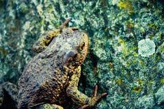 большая каменная жаба Стоковое Фото