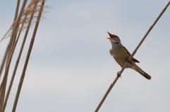 Большая камышовая певчая птица поя около гнезда Стоковые Изображения RF
