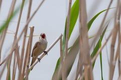 Большая камышовая певчая птица поя, спрятанный в тростнике Стоковое Изображение