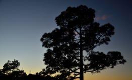 Большая канереечная сосна на наступлении ночи Стоковая Фотография RF