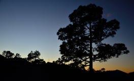 Большая канереечная сосна на наступлении ночи, Gran canaria Стоковое Фото