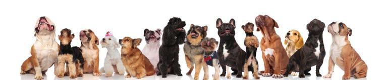 Большая команда много любопытных собак смотря вверх стоковое изображение rf