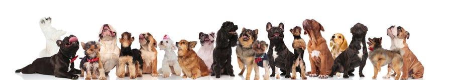 Большая команда много любопытных собак смотря вверх стоковая фотография rf