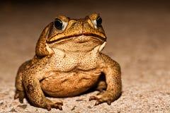 большая коричневая жаба Стоковая Фотография RF