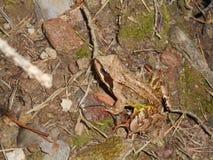 Большая коричневая лягушка в лесе стоковая фотография