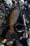 большая коричневая форель Стоковая Фотография