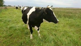 Большая корова в луге Стоковое Фото