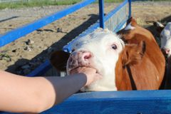 Большая корова сдерживает руку человека Оно ` s смешное стоковое фото rf