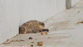 Большая кошка свертывает сверх сток-видео