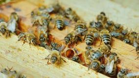 Большая крапивница пчел работает совместно для того чтобы собрать мед в саде стоковые фотографии rf