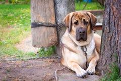 Большая красная порода Alabai собаки лежит в саде рядом с деревом стоковое изображение rf