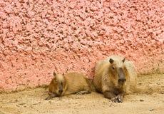 большая крыса Стоковое фото RF