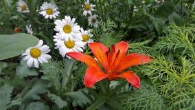Большая маргаритка и красная лилия стоковые фотографии rf