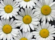 Большая маргаритка цветет искусство стены холста предпосылки стоковое фото rf