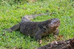 Большая масштабированная ящерица монитора в парке в Таиланде охотится на траве стоковые изображения rf
