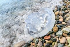 Большая медуза лежит в морской воде на Pebble Beach Стоковое Изображение